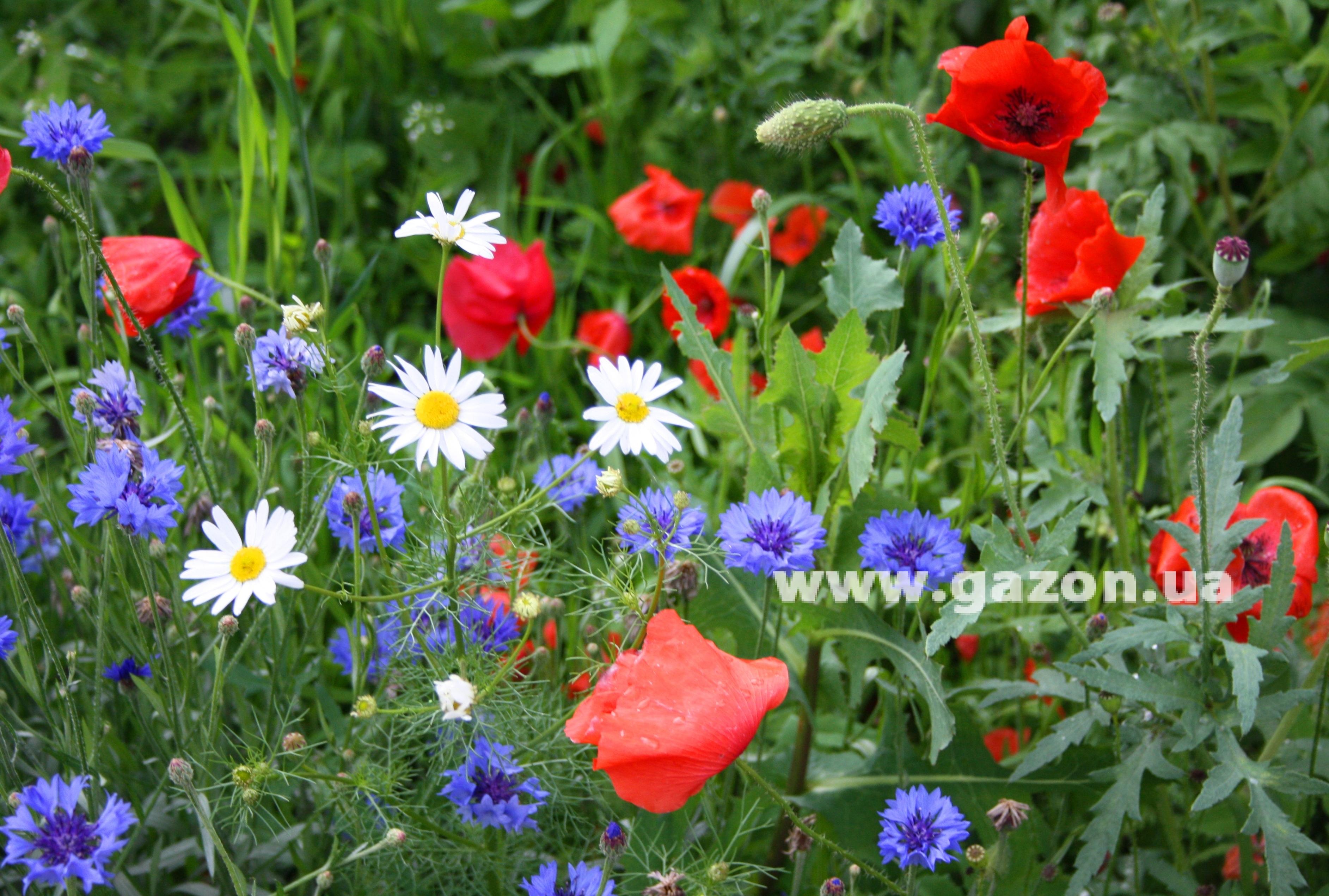 Про полевые цветы цитаты